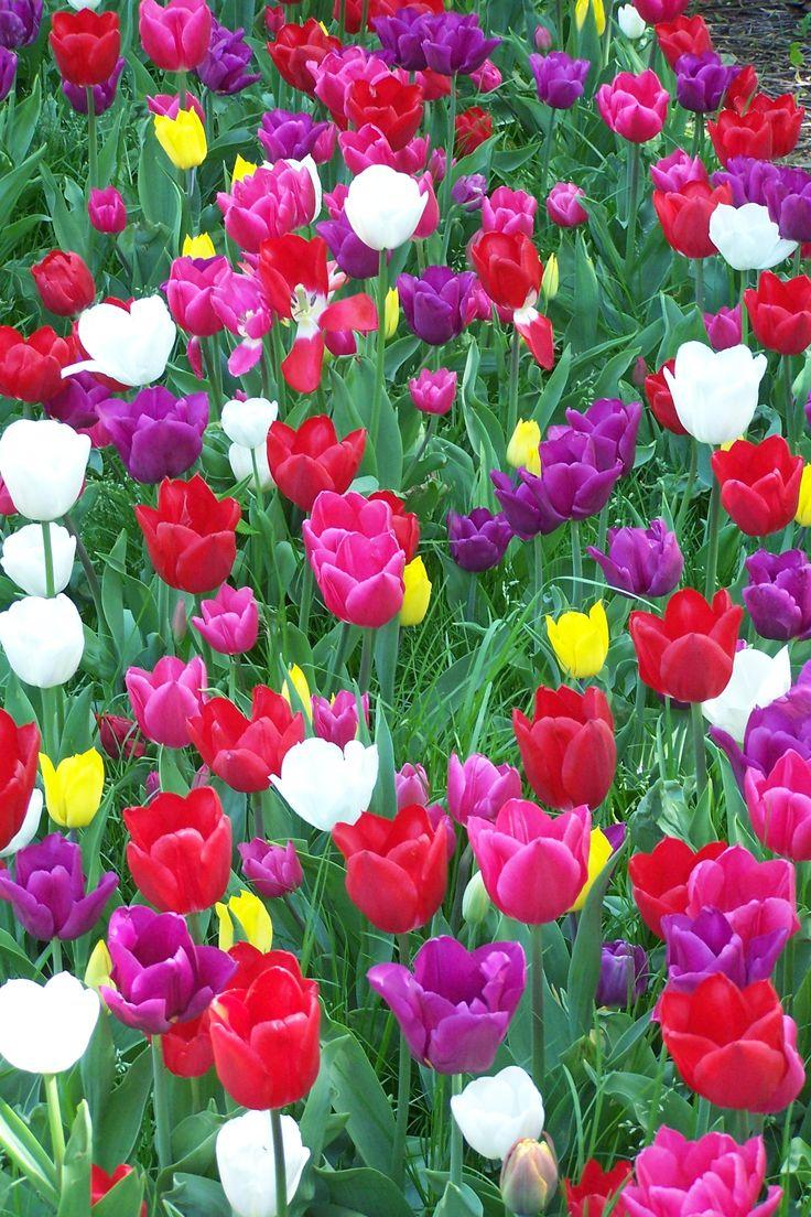 Tulips, Amsterdam, the Netherlands. Photo credits : Ingrid Jonkers