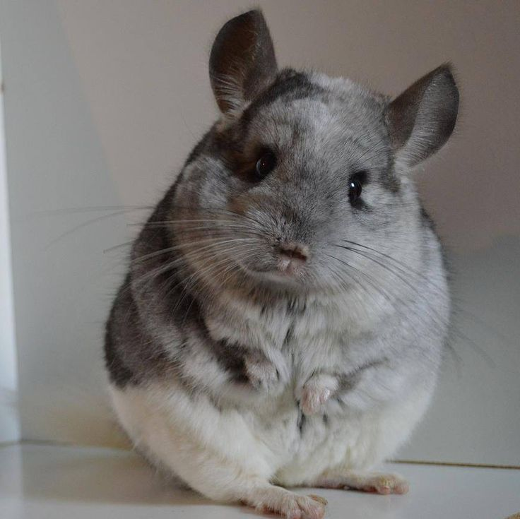 I love this chubby chinchillas curious face. (Picture from our friend at Melanies Chin-World)