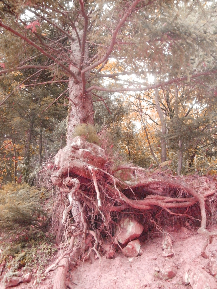 roots in the air #taygetos mountain #greece