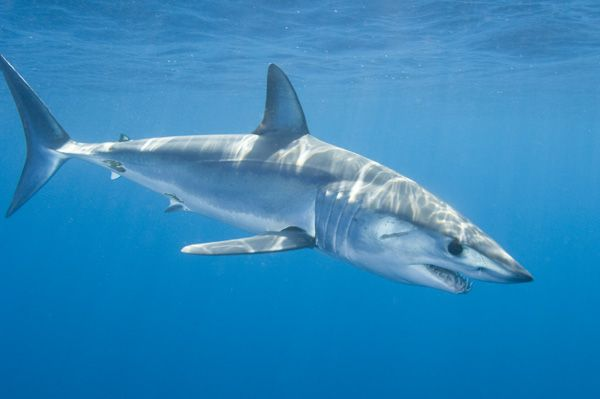 Shortfin Mako Shark, my favorite type of shark that I want to be able to possibly work with