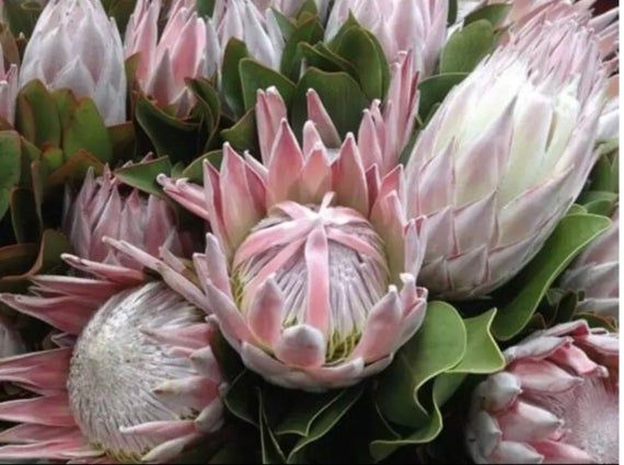 King Protea Sale Live Plant About A Foot Tall Rooted And Etsy In 2020 Protea Plant Protea Art Protea Flower