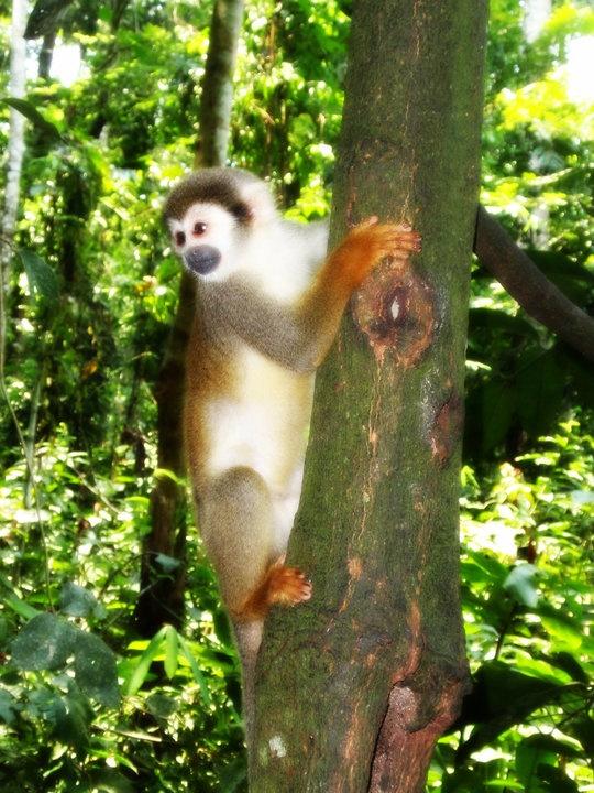 Isla de los Micos, Amazonas