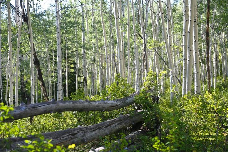 Aspen grove near Salina Utah