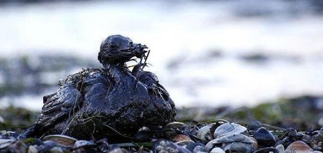 Podemos observar las consecuencias de la contaminación del agua con petroleo. Este es una especie de Ecuador en el derrame de Esmeraldas, y muchas se les encontraron muertas    Bibliografía Ecuavisa. (8 de abril de 2013) 14:15. Animales son los más afectados por derrame de petróleo en Esmeraldas. Recuperado el 26 de abril de 2017, de http://www.ecuavisa.com/articulo/noticias/costa/27992-animales-son-los-mas-afectados-por-derrame-de-petroleo-en-esmeraldas