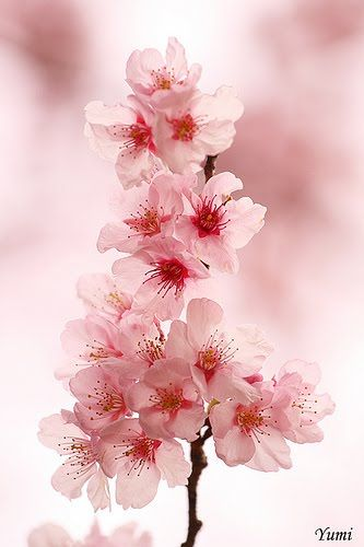 Cherry Blossom Beauty. Blog is in another language but this sure is beautiful!