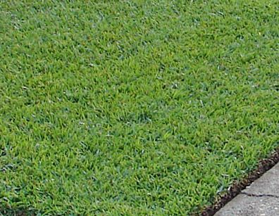 Centipede grass is a low maintenance, low fertility and slow growing turf grass. Its adaptation zone extends from Florida and along the coastal regions of the south as far as central Texas.