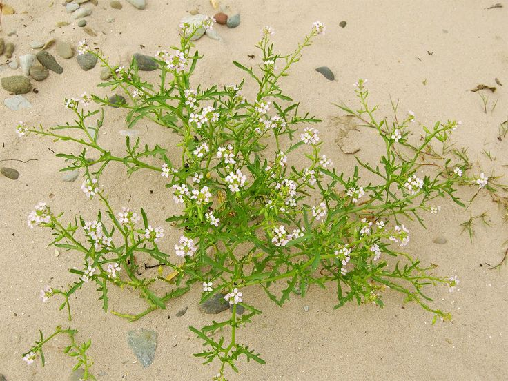 Sea rocket - Cakile maritima