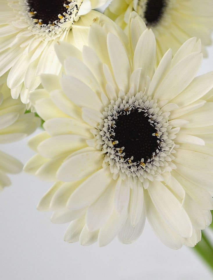 333 best the colorful gerberas images on pinterest beautiful such a clean pure look to this white daisy gerbera daisy mightylinksfo Choice Image