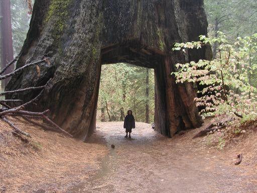 Le séquoia à feuilles d'if : l'arbre le plus haut du monde - Le Labo de Sciences - Collège Marcel Pagnol, Bonnières sur Seine