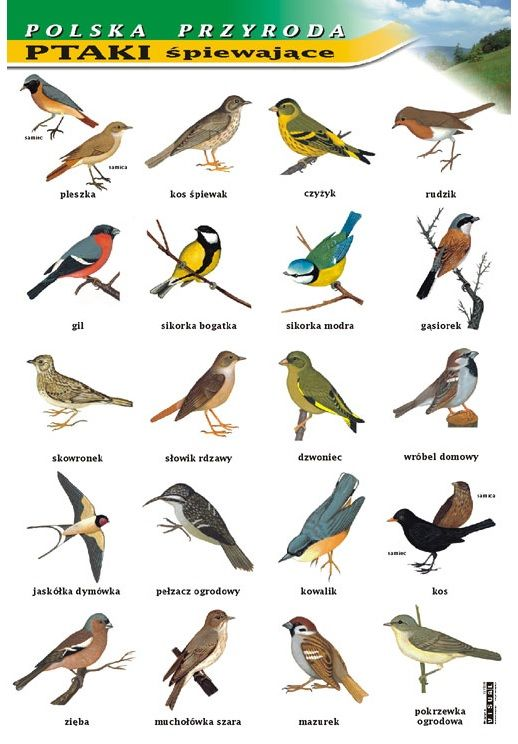 Ptaki śpiewające /  Song birds