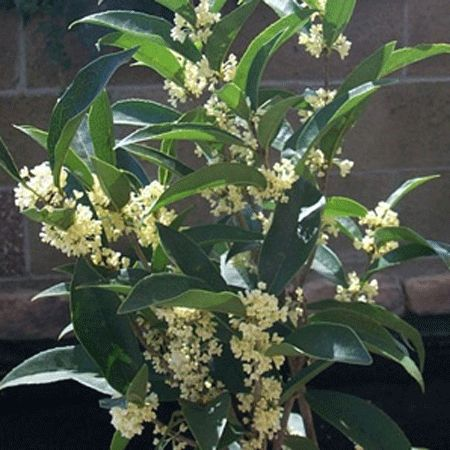 Fragrant Tea Olive for Sale | Fast Growing Trees