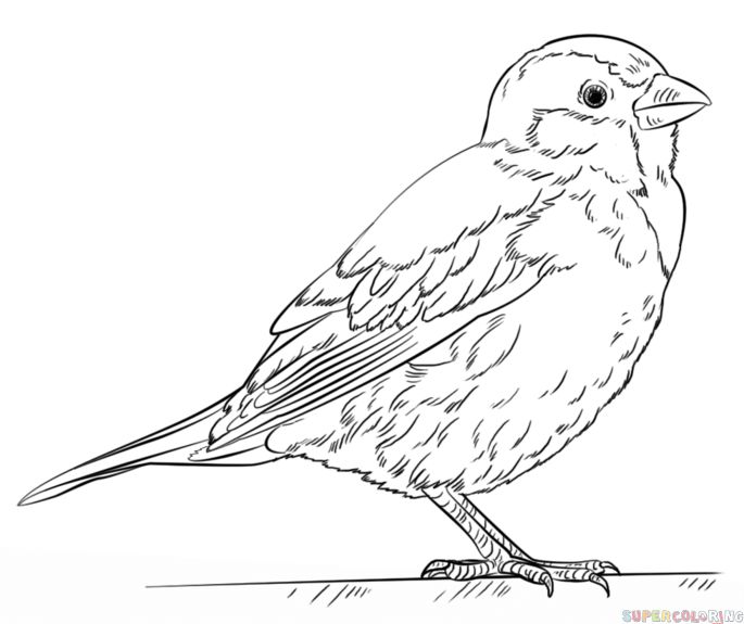 How to draw a house sparrow step by step. Drawing tutorials for kids and beginners.