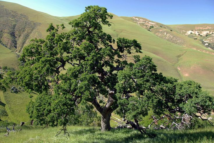 Quercus lobata - Valley Oak