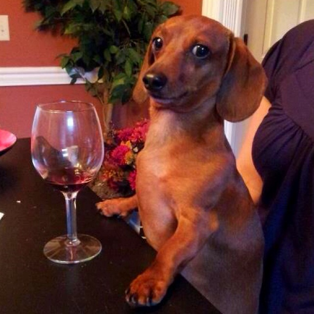 Dachshunds and wine.  2 of my favorite things.