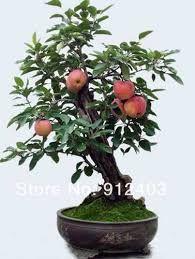 Resultado de imagem para frutas de árvores bonsai