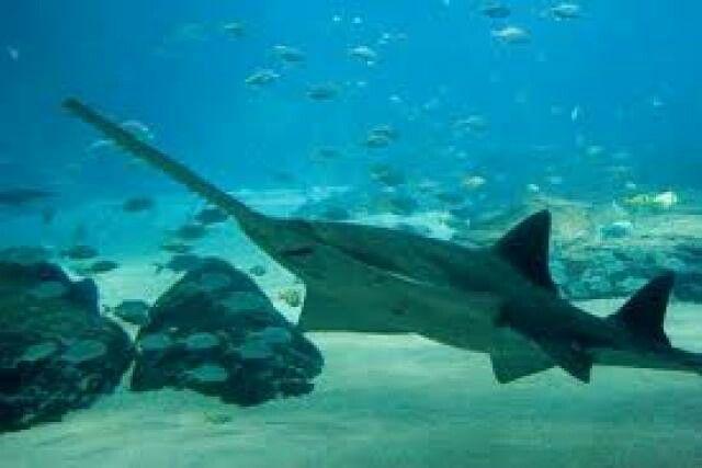 Tiburón Sierra de las Bahamasa( El Tiburón Sierra de las Bahamas, Pristiophorus schroederi, es un Tiburón Sierra de la familia Pristiophoridae, se encuentra en el centro-occidental del Océano Atlántico entre las Bahamas y Cuba, a profundidades de entre 400 y 1.000 m. Estos tiburones tienen por lo menos 80 cm de largo.