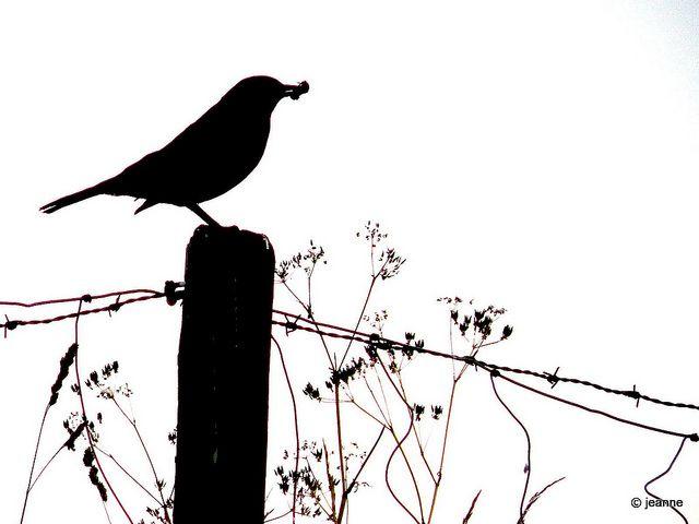 Vogel auf Gartenzaun Silhouette