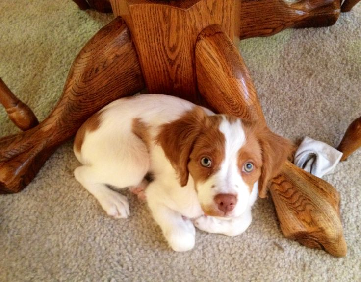 Brittany spaniel puppies <3