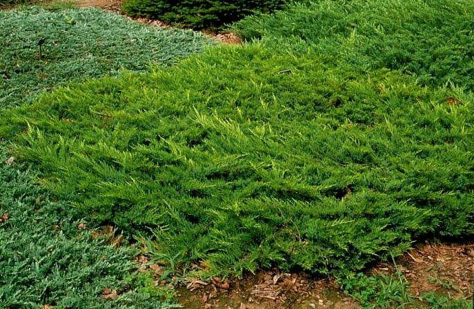 Juniperus sabina 'Broadmoor' - Gavallérkert faiskola - dísznövények, cserjék és örökzöldek a kertben.
