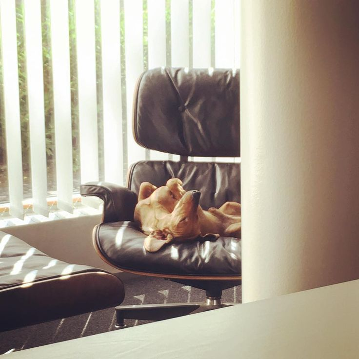 """Summer time and the living is easy.."" Design-dog taking it easy at the office. #seosdesign #dachshundlife #mäyräkoira #finnishdesign #designagency #dachshundlife #dachshundoftheday #eamesloungechair #eames #greatplacetowork"