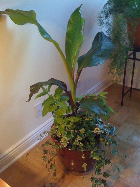growing bananas indoors