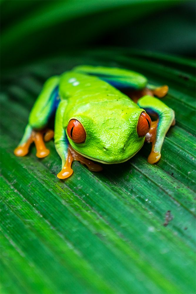 Costa Rica's most iconic frog - the red-eyed tree frog!