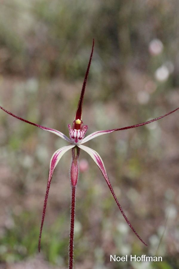 Caladenia polychroma » Western Australian Native Orchid Study and Conservation Group