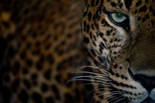 .Wild Cat, Big Cat, Cat Eye, Leopards, Tigers, Nature Beautiful, Beautiful Things, Beautiful Creatures, Animal