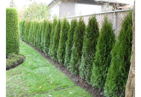 Cedar for Privacy Fence