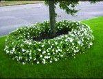 Downy Mildew on Impatiens Update | Gardening Advice | Hicks Nurseries