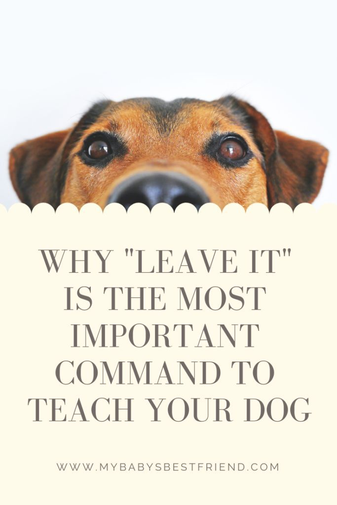 Why Leave It Is The First Command To Teach Your Dog Before