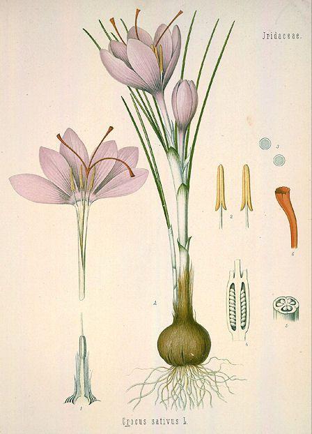 Saffron Crocus (Crocus sativus) from Köhler's Medicinal Plants, 1883