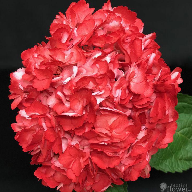 Red hydrangea, classy, passionate, stylish #hydrangea #red #flowers #classy #stylish #passion #love #passionate #festiveflower_com festiveflower.com/?utm_content=buffer90286&utm_medium=social&utm_source=pinterest.com&utm_campaign=buffer