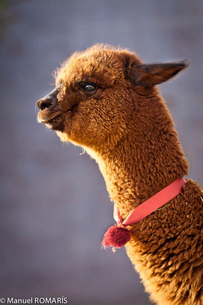 An alpaca, Bolivia