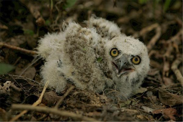 Diferencias Entre Buho Y Lechuza Nombres Para Cachorros Owl