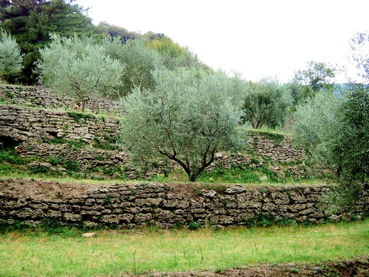 ulivi sul Monte Amiata