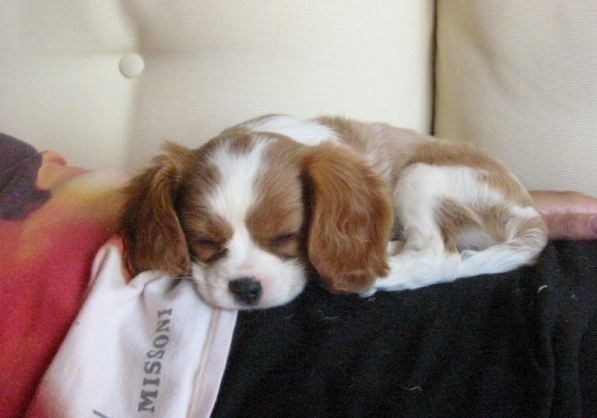 Cavalier King Charles Spaniel Puppies Are The Cutest Puppies -- They're so