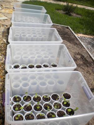 Günstige mini Variante für ein Treibhaus. Statt Plastik Becher sollte man WC Papier Rollen benutzen, die kann man dann später mit in die Erde pflanzen