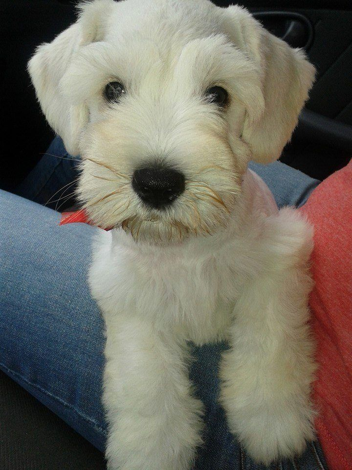 Oh my gosh I want to kiss his cute face! White schnauzer