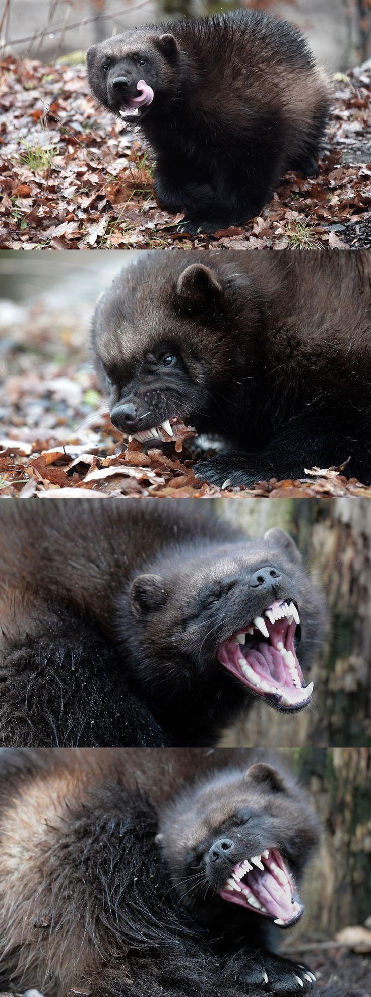 Le parc animalier de Sainte-Croix, situé à Rhodes, vient d'accueillir un couple de gloutons. Animaux classés «vulnérables» sur la liste rouge des espèces au niveau européen, ces mustélidés ressemblant à des ours sont méconnus du public. Egalement appelés «carcajous» («wolverine» en anglais), ces carnivores vivent à l'état sauvage dans la taïga et la toundra nord-américaine et eurasienne. Ils ont vu une partie de leur habitat naturel être détruit par l'expansion urbaine.