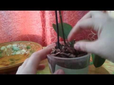 Уход за ослабленными орхидеями фаленопсис. - YouTube