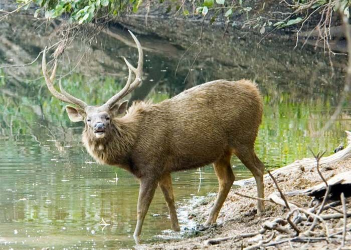 Three of the larger deer species  are the Sambar Deer, Chital or Spotted Deer and Red Deer.
