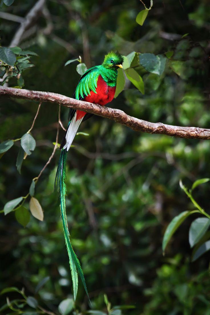 Worlds Most Beautiful Bird Resplendent Quetzal