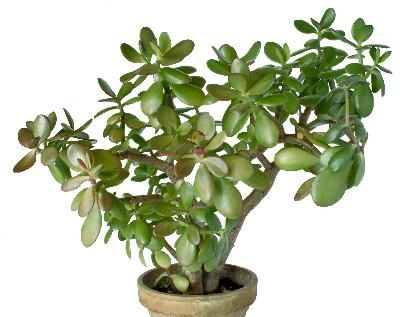 how to start a jade plant from a leaf