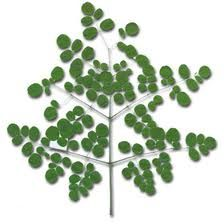 Moringa health products with many health benefits.