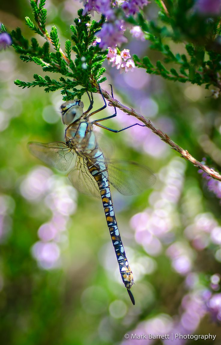 1693 best dragonflies images on pinterest dragon flies