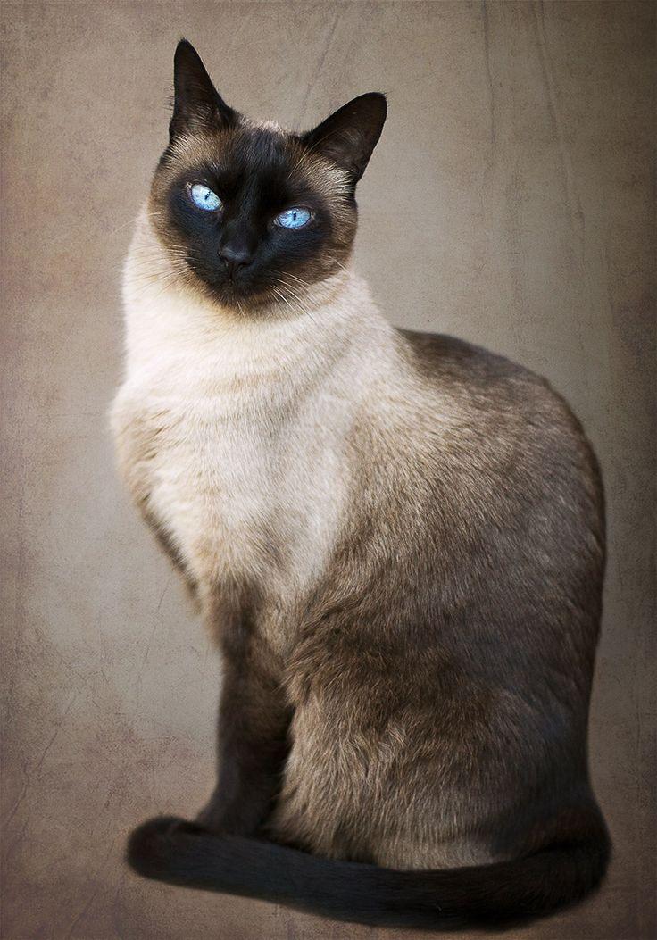 Elegance by Julia Carvalho on 500px...Siamese cat
