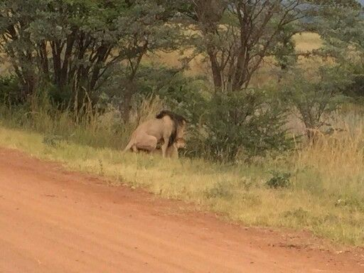 Very lucky to come across this #lion
