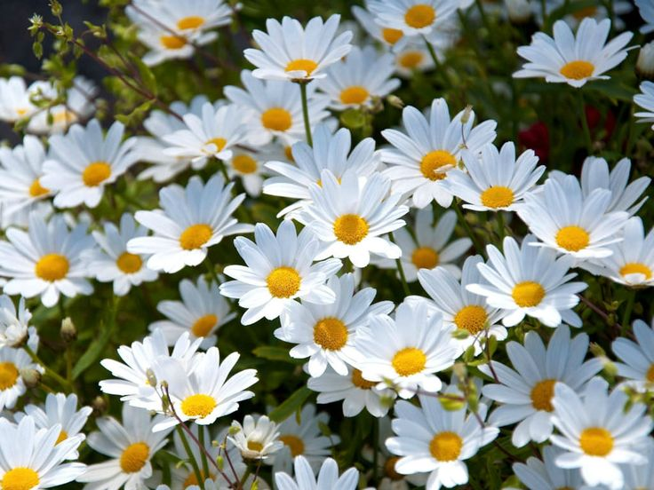 """Top 10 Facts About Daisies: Daisies belong the family of """"vascular plants"""" - those which circulate nutrients and water throughout the plant. They make up almost 10%..."""