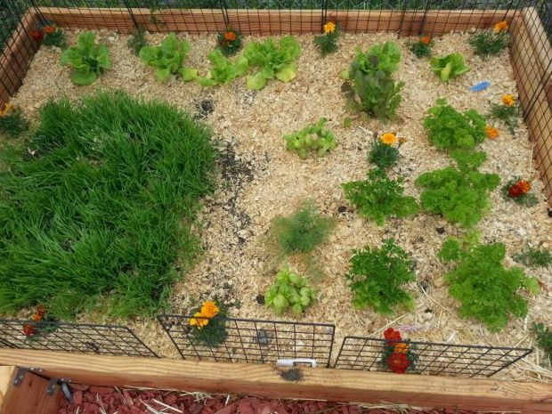 """In my piggie patch I'm growing wheat grass, dill, bibb lettuce, flat and curled parsley, basil, cilantro and marigolds. This piggie patch also act as a play space for my piggies when I'm gardening."""